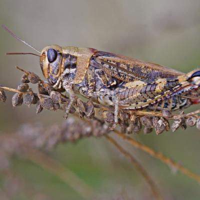 Caloptène italien (Calliptamus  italicus)