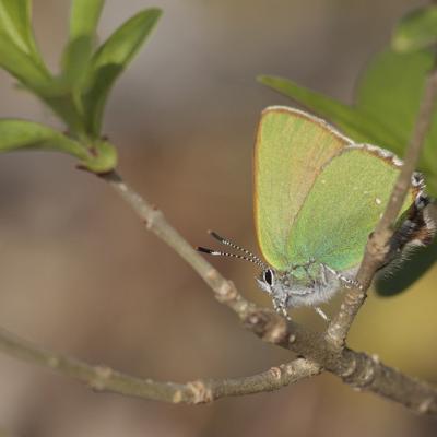 Argus vert ou Thécla de la ronce (Callophrys rubi)