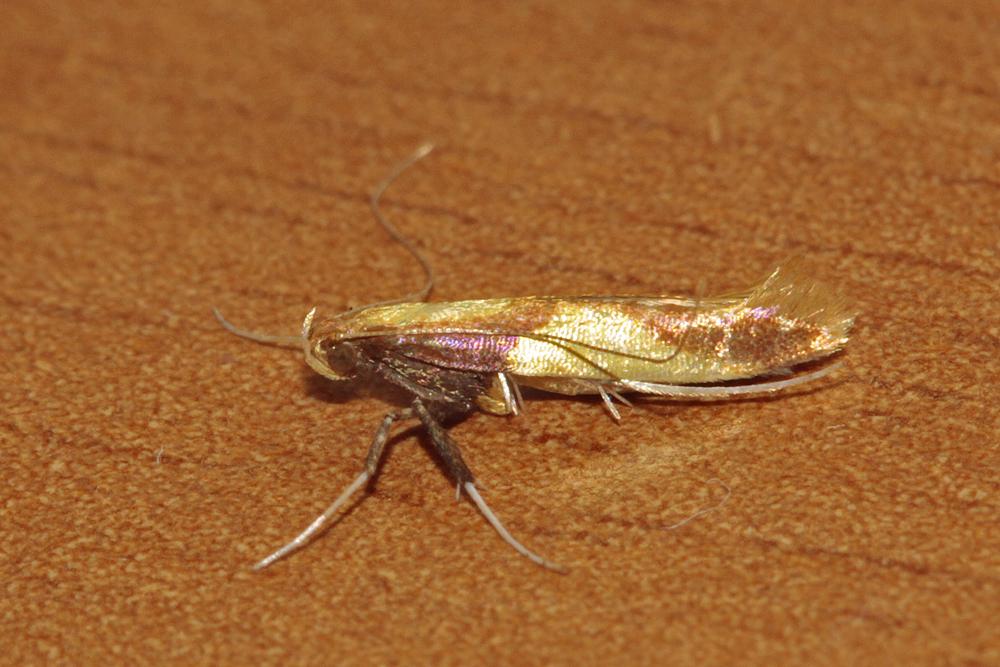 Caloptilia alchimiella