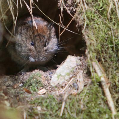 Campagnol roussâtre  (Microtus glaerolus)