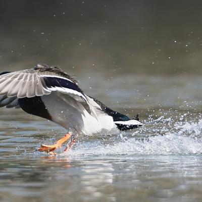 Canard colvert mâle (Anas platyrhynchos)