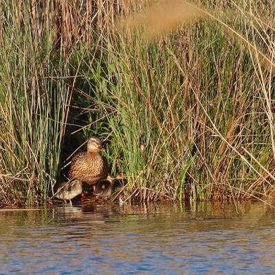 Canard colvert femelle + jeunes (Anas platyrhinchos)
