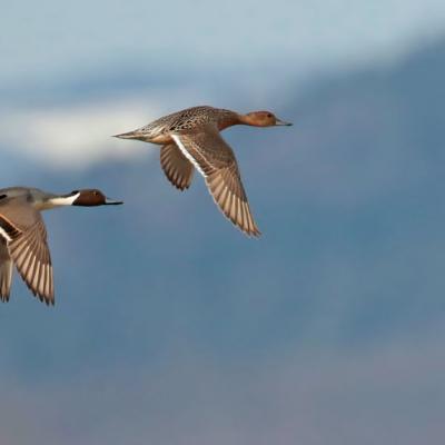 Canard pilet  couple  (Anas acuta)