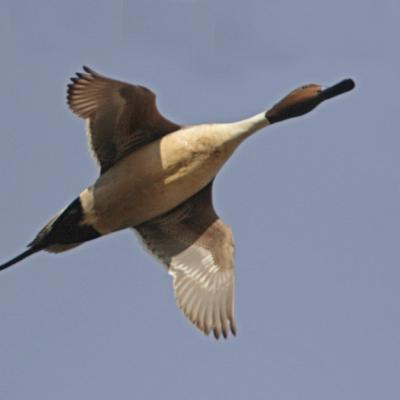 Canard pilet  mâle (Anas acuta)