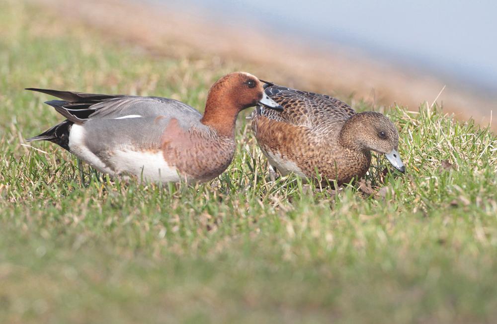 Canard siffleur couple (Anas penelope)