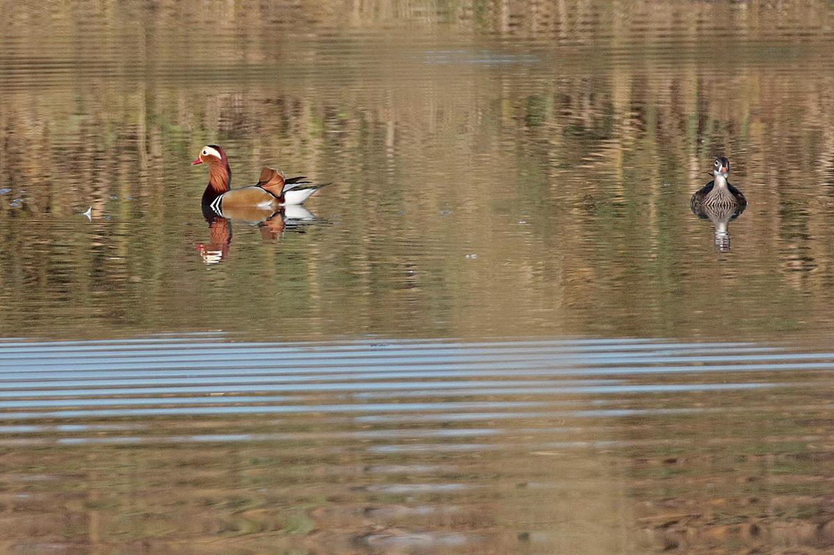 Canard mandarin couple  (Aix galeculirata)
