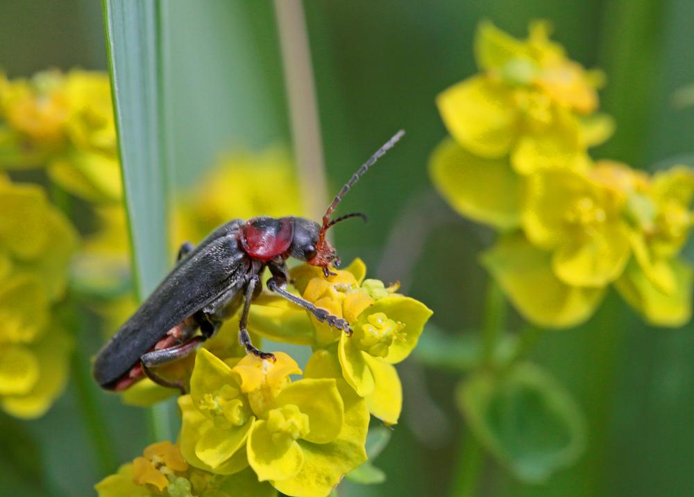 Téléphore moine (Cantharis rustica)