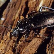 Carabe des bois (Carabus nemoralis)