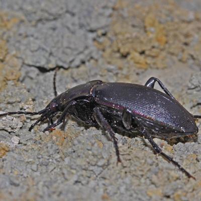 Carabe violet (Carabus violaceus)