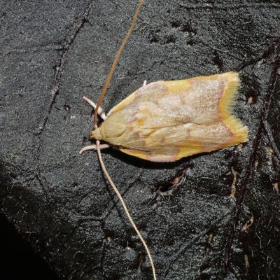 Oecophore rosée (Carcina quercana)