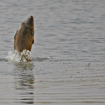 Carpe commune  (Cyprinus carpio)