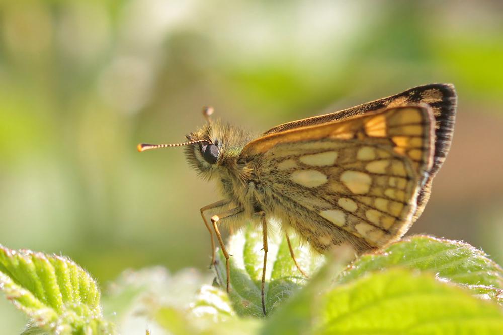 Hespérie échiquier (Carterocephalus palaemon)