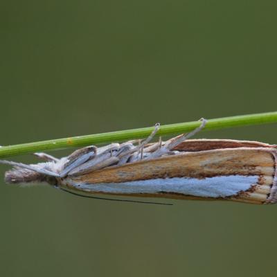 Le Crambus à rayure d'argent (Catoptria margaritella)