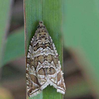 La Sericore fluxueuse (Celypha rivulana)