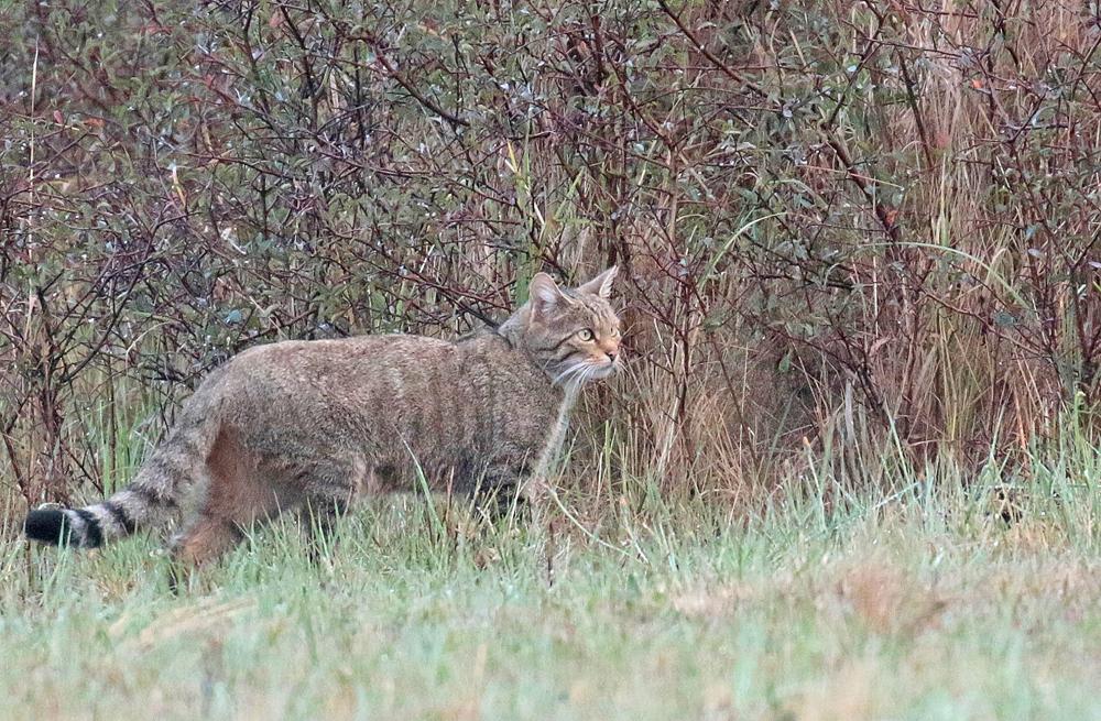 Chat forestier (Felis sylvestris)