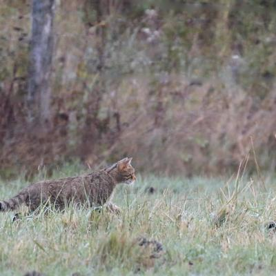 Chat forestier (Felis sylvestris)