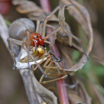 Chiracanthe ponctué (Cheiracanthium punctorium)