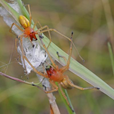 Chiracanthe ponctué (Cheiracanthium punctorium) couple
