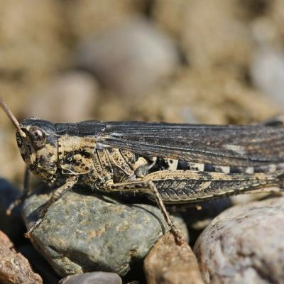 Le Criquet des larris (Chortippus mollis)