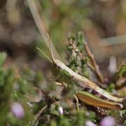 Criquet des pâtures (Chortippus parallelus) femelle