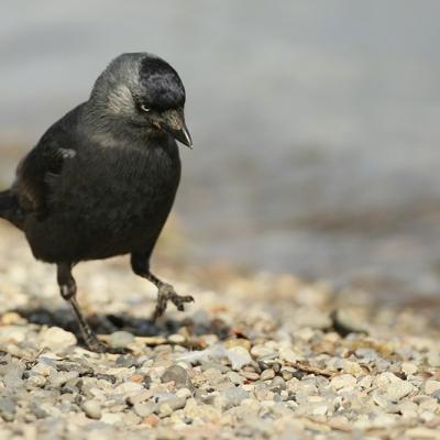 Choucas des tours  (Corvus monedula)