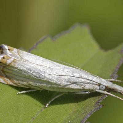 Le Crambus des jardins (Chrysoteuchia culmella f cespitella)