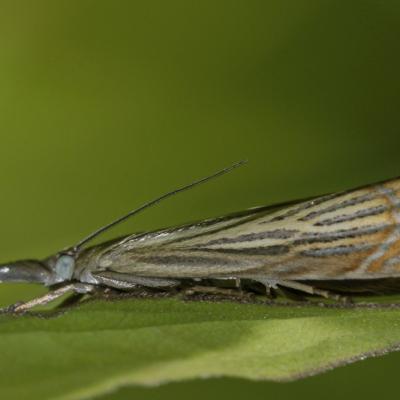 Le Crambus des jardins (Chrysoteuchia culmella)