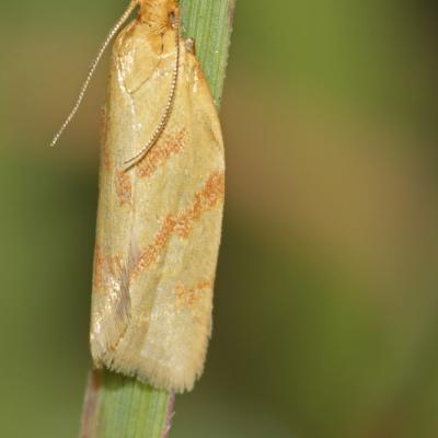 Clepsis pallidana