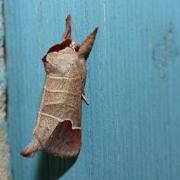 Le Courtaud  ou Hausse queue blanche (Clostera curtula)