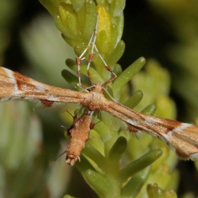 Le Ptérophore rhododactyle ou Pterophore de l'églantier (Cnaemidophorus rhododactyla)