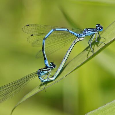 Agrion bleu (Coenagrion puella) couple