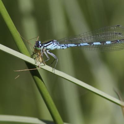 Agrion bleu (Coenagrion puella) mâle