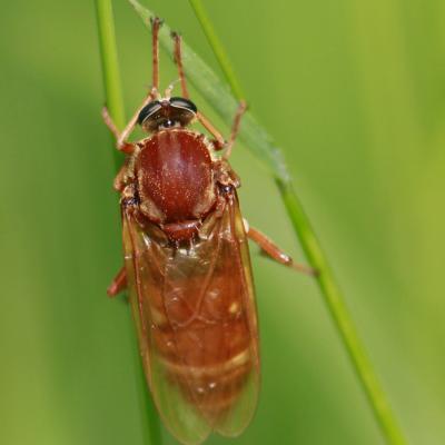 Coenomie ferrugineuse (Coenomyia ferruginea) femelle.