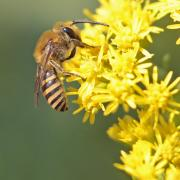 Collete du lierre (Colletes hederae)