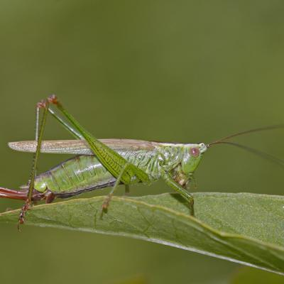 Conocéphale bigarré (Conocephalus fuscus) femelle