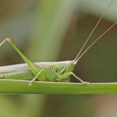 Conocéphale bigarré (Conocephalus fuscus) mâle