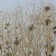 Corbeaux freux (Corvus frugilegus)