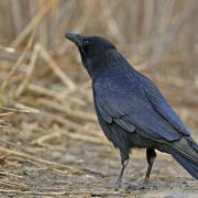 Corneille  noire (Corvus corone)