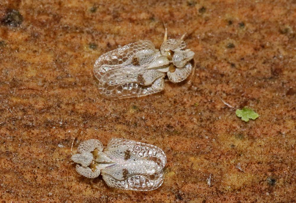 Tigre du platane (Corythucha ciliata)