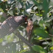 Coucou  gris  (Cuculus canorus)