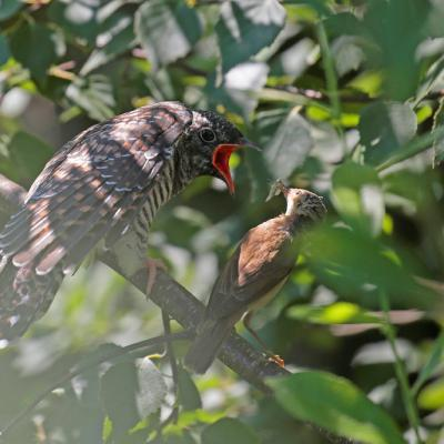 Coucou  gris  (Cuculus canorus) jeune