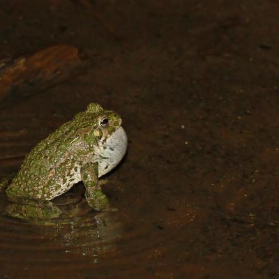 Crapaud vert (Bufo viridis) mâle chanteur