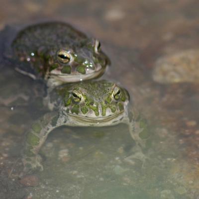 Crapaud vert (Bufo viridis) couple