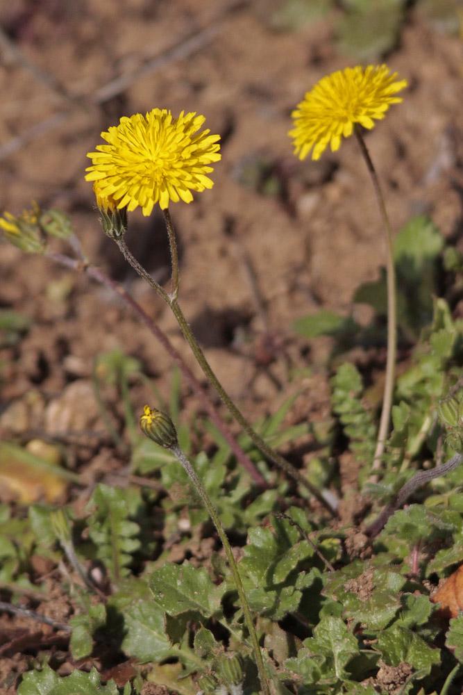 Crépide  épervière  (Crépis sancta)
