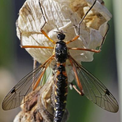 Tipulidae.