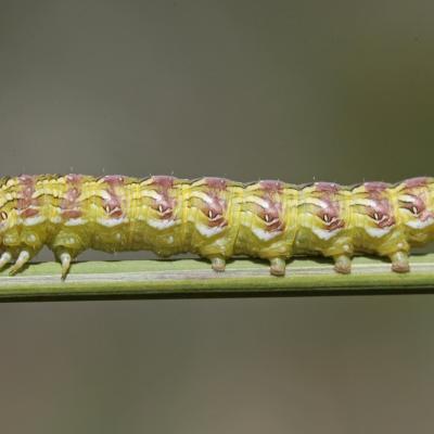 La Cucullie de la camomille (Cucullia chamomillae)