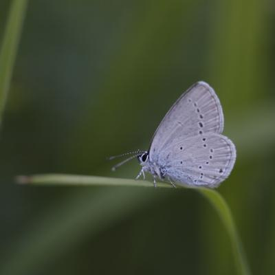Argus frêle (Cupido minimus)