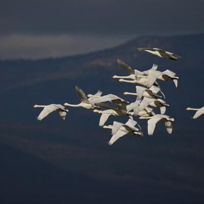 Cygnes chanteurs (Cygnus cygnus)