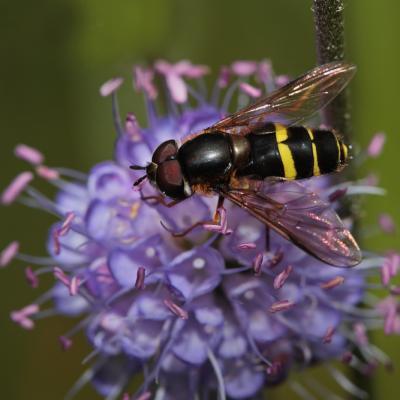 Dasysyrphus tricinctus
