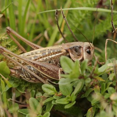 Dectique verrucivore (Decticus verrucivorus)